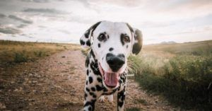 Dalmatian With a Heart Shaped Nose Will Make You Swoon!
