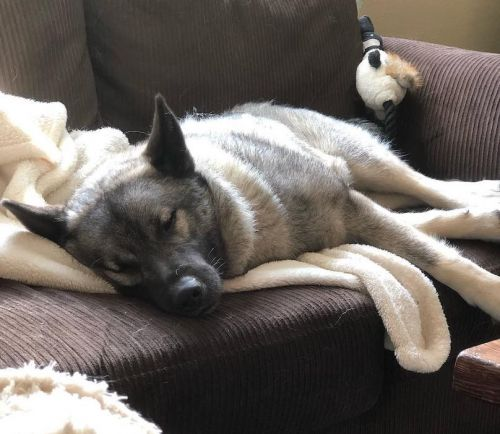 Norwegian Elkhound Breed Information Guide: Quirks, Pictures, Personality & Facts