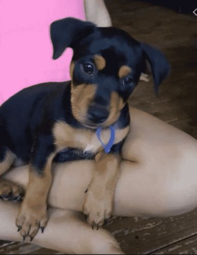 Jack Russell Rottweiler Mix: A Breed That Retains All The Positive Aspects Of The Parents