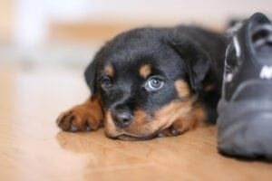 10 Things That Rottweilers Love