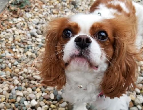 Cavalier King Charles Spaniel Breed Information Guide: Quirks, Pictures, Personality & Facts
