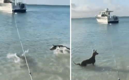Brave, Protective Dog Chases Shark Away From The Shore
