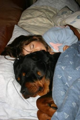 Does Your Rottweiler Sleep In Bed With You? We Show You The Pros And Cons Of Sleeping With Them