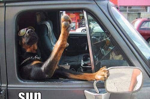 10 Signs Show That Rottweilers Drive Better Than You