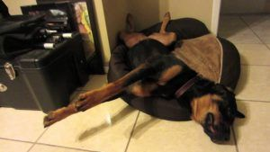 What Does Your Rottweiler's Sleeping Positions Tells You?
