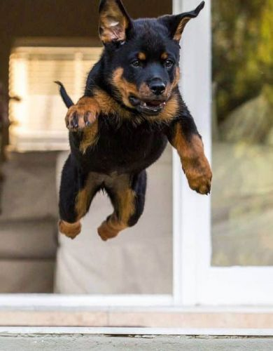 Best Tips and Tricks For Taking Perfect Pictures For Your Rottweiler