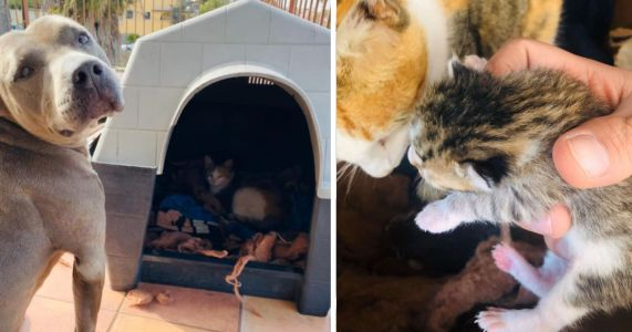 Protective Pit Bull Safeguards Stray Cat As She Gives Birth In His Doghouse