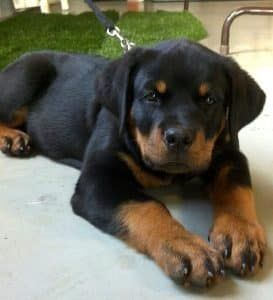 Study Reveals How Long It Takes To Fall In Love With a Rottweiler