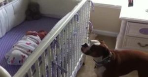 Boxer Whimpers When She Hears Her Newborn Baby Sister Crying