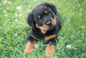 Rottweiler Puppy - How To Choose Properly