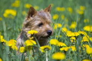 Get to Know the Norwich Terrier: Naughty, Nice, and Not a Norfolk!