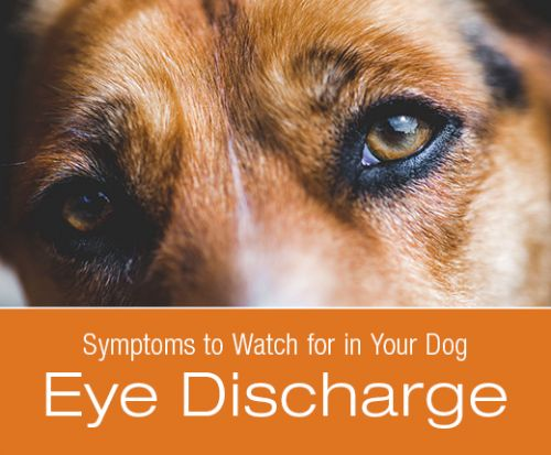 Symptoms to Watch for in Your Dog: Eye Discharge