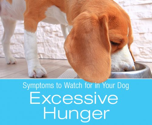 Symptoms to Watch for In Your Dog: Excessive Hunger