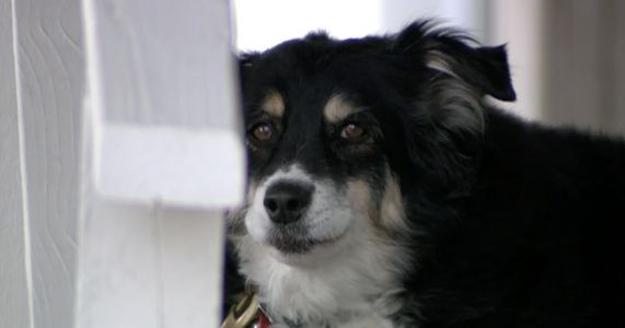 Border Collie Inherits $5 Million After Her Human's Death