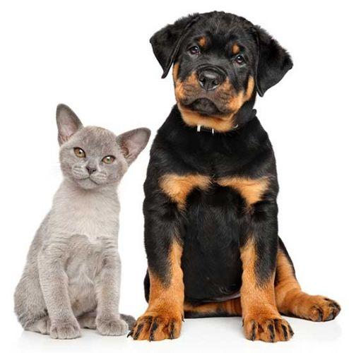 Are rottweilers good with cats?
