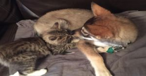 Woman Brings Her Husky To Pick Out A Kitten And He Falls In Love
