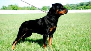 Correcting Your Rottweiler's Leash Pulling
