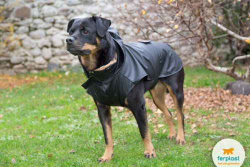 THE ROTTWEILER: A GUARD DOG WITH A HEART OF GOLD