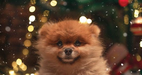 """New """"Petfished"""" Campaign Warns About """"Christmas Puppy"""" Scams"""