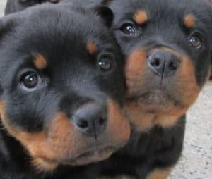 Why do Rottweilers Lick Everything?