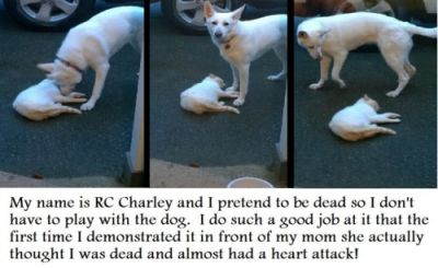 Playing Possum RC Charley is a 3 year old rescue cat. Although