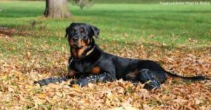 Brutus a Goofy Rottweiler Gets Around on Four Prosthetic Legs!
