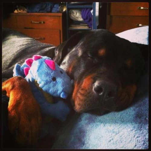 7 Things That Rottweiler Owners Should Never Apologize For