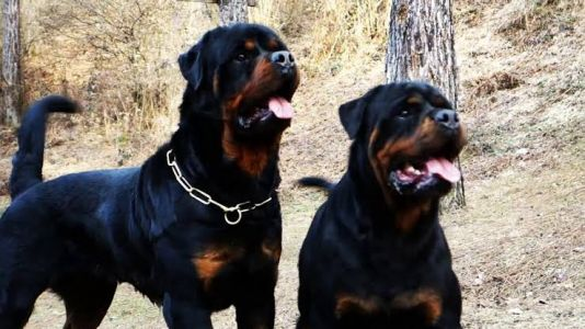 What Should You Do When Your Sibling Doggies - The Male And Female Rottweiler Fights All The Time?
