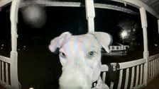 Dog Spooked By Fireworks Returns Home After Fleeing. By Ringing Doorbell At 3 A.M
