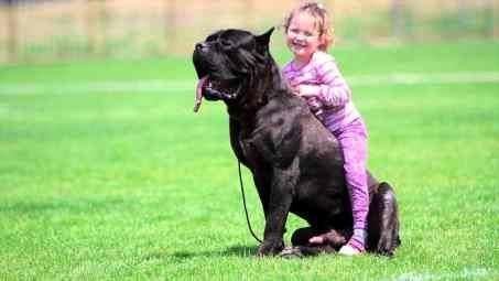 Cane Corso Or Rottweiler: Which Is The Best Guard Dog?