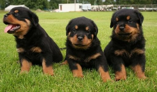 7 Reasons You Should Cuddle Your Rottweiler More Often