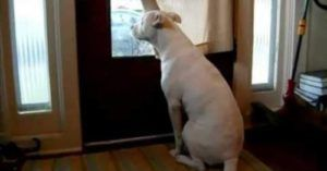 Pitbull Patiently Waits For Soldier Dad, Showers Him With Kisses