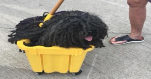 This Dog Dressed As A Mop For Halloween And It's Perfect