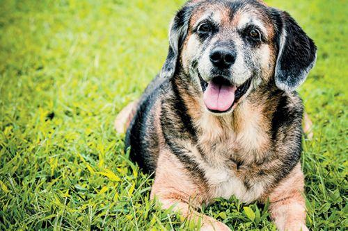 Sundowning in Dogs - Yep, It's Not Just a Human Problem