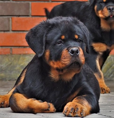 How to mental stimulate a rottweiler dog?