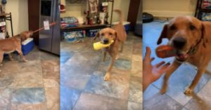Smart Dog Helps His Dad Make A Sandwich