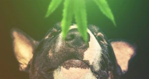 7 Crucial Things to Consider Before Giving CBD Oil to Dogs