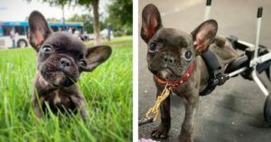 Frenchie Mercury Transforms From Paralyzed Pup To Shining Star!