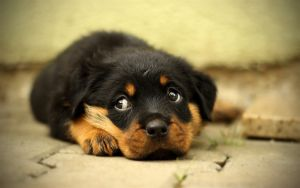 Do you think Rottweilers are dangerous?
