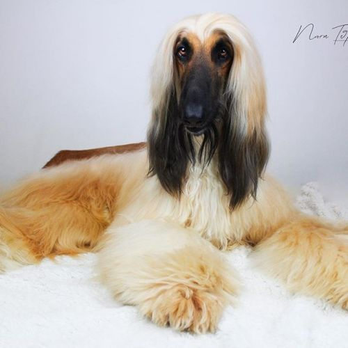 Afghan Hound Breed Information Guide: Quirks, Pictures, Personality & Facts