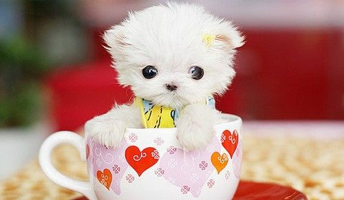 Top 5 Popular Breeds of Teacup Dogs