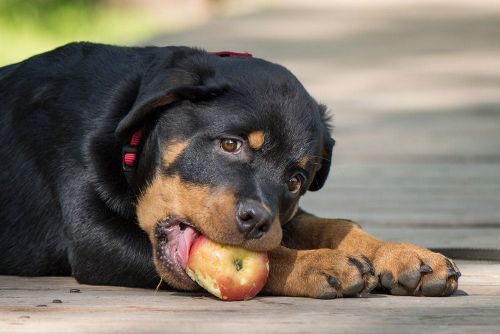 Fruit Treats For Rottweilers: Make Them A Regular Part Of Your Dog's Diet