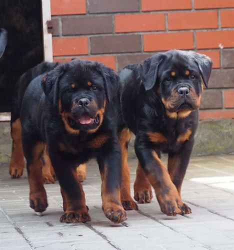 How to Make your Rottweiler Dog to Walk properly alongside?