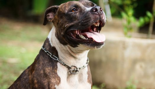 5 Tips When Caring for a Pitbull