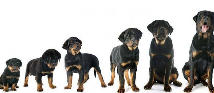 How To Take Care Of A 6 Month-Old Rottweiler?