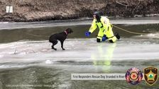 Lucky Labrador's Ice Rescue