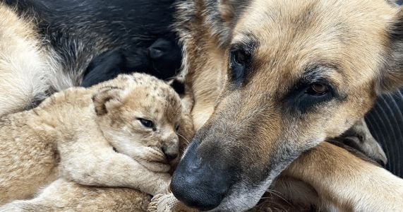 Sweetest German Shepherd Mothers Abandoned Lion Cubs