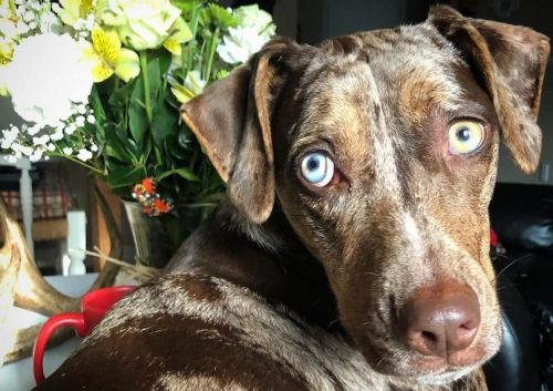 Catahoula Leopard Dog Breed Info Guide: Quirks, Pictures, Personality & Facts