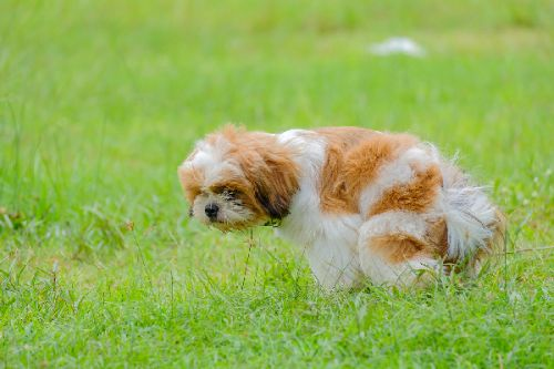 What Are the Causes of Black Dog Poop?