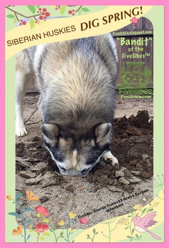 Siberian Huskies Dig Diggin' in the Dirt on a Flashback Friday!